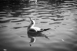 (Mini-)Mouette, Parc du lac vert, Kunming