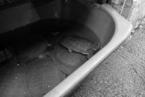 Quelques tortues dans une baignoire, sur le marché