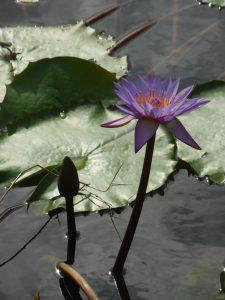 Fleur de lotus dans Gandhi park :)