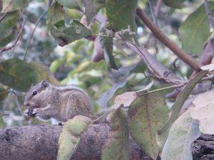 Petit écureuil indien