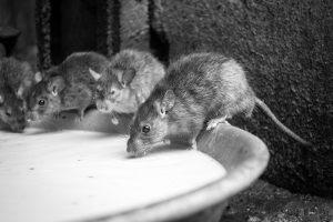Temple des rats