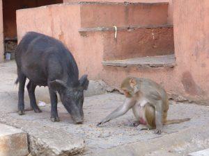 Le singe et le cochon (oui, ça aurait pu être le titre d'une fable de La Fontaine)