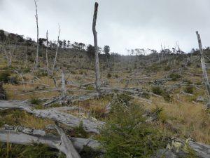 Forêt d'arbres morts (comme il y en a souvent en Patagonie)