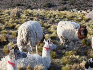 Lamas et alpagas, en redescendant