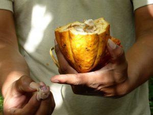 Fruit du cacaotier