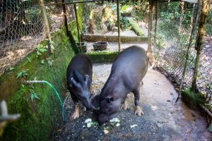 Tapirs