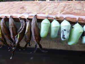 Entre la chenille et le papillon