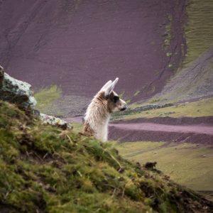 Oh, un lama (ou un alpaga, on n'est toujours pas complètement au point ;))
