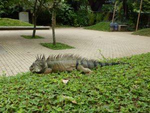 Iguane au jardin botanique de Medellin